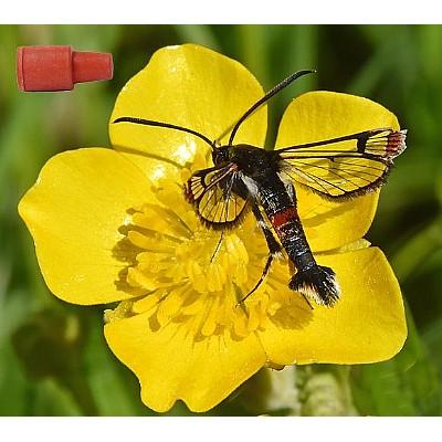 Feromonsett for glassvinger (Sesiidae), 10 arter